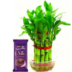 Dairy Milk Chocolate And 2 Layer  Bamboo Plant