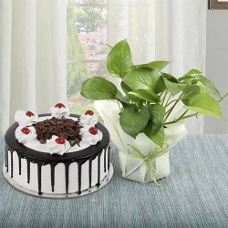 Money Plant And Black Forest Cake