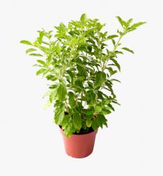 Holy Tulsi Plant